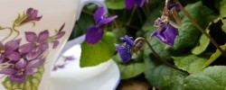 Earl Grey Editing, violets, teacup