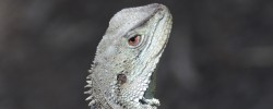 Gippsland Water Dragon, Earl Grey Editing