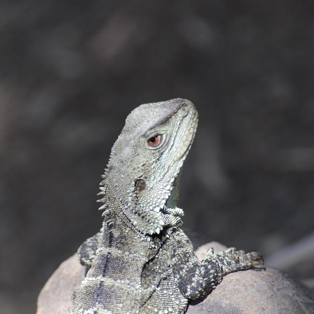 Gippsland Water Dragon, Earl Grey Editing