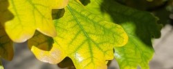 Earl Grey Editing, English oak, autumn leaves